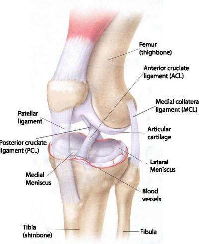 Knee Anatomy What Gives