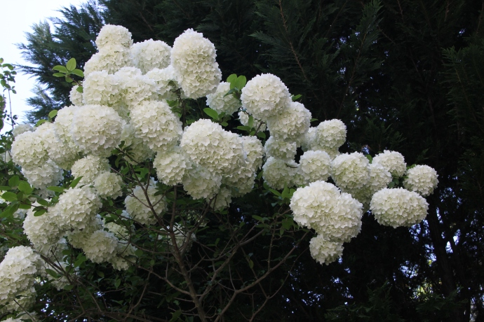 Giant viburnum snowballs will do me for now...