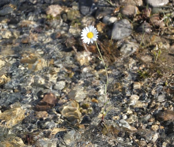 water daisy